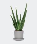 Aloe vera in a grey pot, Plants & Pots