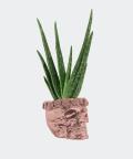 Aloe vera in a rose gold concrete skull, Plants & Pots