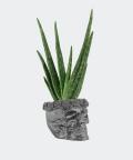 Aloe vera in a steel concrete skull, Plants & Pots