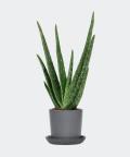 Aloe vera in a stone pot, Plants & Pots