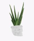 Aloe vera in a white concrete skull, Plants & Pots