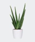 Aloe vera in a white pot, Plants & Pots