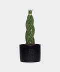 Sansewieria Cylindryczna Warkocz w czarnej doniczce walec, Plants & Pots