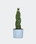 Sansewieria Cylindryczna Warkocz w niebieskim betonowym walcu, Plants & Pots