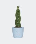 Sansewieria Cylindryczna Warkocz w niebieskiej doniczce betonowej, Plants & Pots