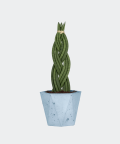 Sansewieria Cylindryczna Warkocz w niebieskiej doniczce betonowej hex, Plants & Pots