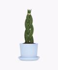 Sansewieria Cylindryczna Warkocz w niebieskiej doniczce ceramicznej, Plants & Pots