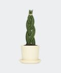 Sansewieria Cylindryczna Warkocz w kremowej doniczce ceramicznej, Plants & Pots