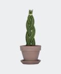 Sansewieria Cylindryczna Warkocz w szarej doniczce ceglanej, Plants & Pots
