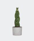 Sansewieria Cylindryczna Warkocz w szarym betonowym walcu, Plants & Pots