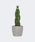 Sansewieria Cylindryczna Warkocz w szarej doniczce betonowej, Plants & Pots