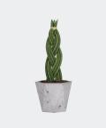 Sansewieria Cylindryczna Warkocz w szarej doniczce betonowej hex, Plants & Pots