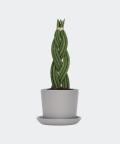 Sansewieria Cylindryczna Warkocz w szarej doniczce ceramicznej, Plants & Pots