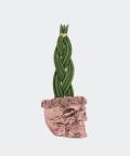 Sansewieria Cylindryczna Warkocz w rose gold betonowej czaszce flower, Plants & Pots
