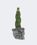 Sansewieria Cylindryczna Warkocz w stalowej betonowej czaszce, Plants & Pots