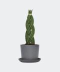 Sansewieria Cylindryczna Warkocz w kamiennej doniczce ceramicznej, Plants & Pots