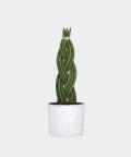 Sansewieria Cylindryczna Warkocz w białym betonowym walcu, Plants & Pots