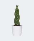 Sansewieria Cylindryczna Warkocz w białej doniczce betonowej, Plants & Pots