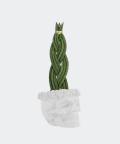 Sansewieria Cylindryczna Warkocz w białej betonowej czaszce, Plants & Pots