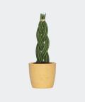 Sansewieria Cylindryczna Warkocz w żółtej doniczce betonowej, Plants & Pots