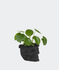 Chinese Money Plant in a black concrete skull, Plants & Pots