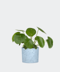 Chinese Money Plant in a blue concrete cylinder, Plants & Pots