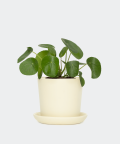 Chinese Money Plant in a cream yellow pot, Plants & Pots