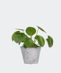 Chinese Money Plant in a grey hex concrete pot, Plants & Pots
