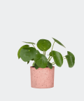 Chinese Money Plant in a pink concrete cylinder, Plants & Pots