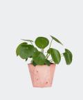 Chinese Money Plant in a pink hex concrete pot, Plants & Pots
