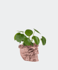 Chinese Money Plant in a rose gold skull, Plants & Pots