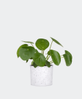 Chinese Money Plant in a white concrete cylinder, Plants & Pots