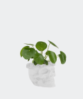 Chinese Money Plant in a white concrete skull, Plants & Pots
