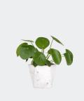 Chinese Money Plant in a white hex concrete pot, Plants & Pots