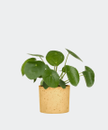 Chinese Money Plant in a yellow concrete cylinder, Plants & Pots