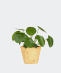Chinese Money Plant in a yellow hex concrete pot, Plants & Pots