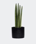 Cylindrical snake plant in a black concrete cylinder, Plants & Pots