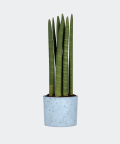 Cylindrical snake plant in a blue concrete cylinder, Plants & Pots