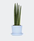 Cylindrical snake plant in a blue pot, Plants & Pots