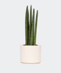 Cylindrical snake plant in a cream yellow cylindrical pot, Plants & Pots