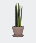 Cylindrical snake plant in a grey brick pot, Plants & Pots