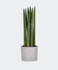Cylindrical snake plant in a grey concrete cylinder, Plants & Pots