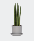 Cylindrical snake plant in a grey pot, Plants & Pots