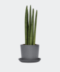 Cylindrical snake plant in a stone pot, Plants & Pots