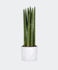Cylindrical snake plant in a white concrete cylinder, Plants & Pots