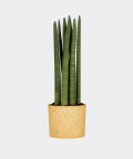 Cylindrical snake plant in a yellow concrete cylinder, Plants & Pots