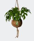 Monstera Minima w wiszącej doniczce kokedama, Plants & Pots