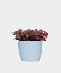 Nerve plant in a blue concrete pot, Plants & Pots