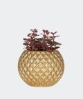 Nerve plant in a golden concrete sphere, Plants & Pots
