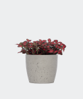 Nerve plant in a grey concrete pot, Plants & Pots